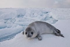 West-ice-hooded-seal-pup-in-landscape-1e
