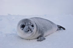 West-ice-hooded-seal-pup-in-landscape-8h