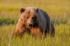Grizzly bear Alaska feeding on grass
