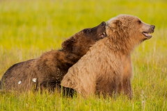 Alaska grizzly bears mating