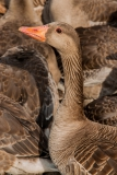 Goose-close-up-1