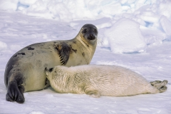 Harp seal mother and pup drinking