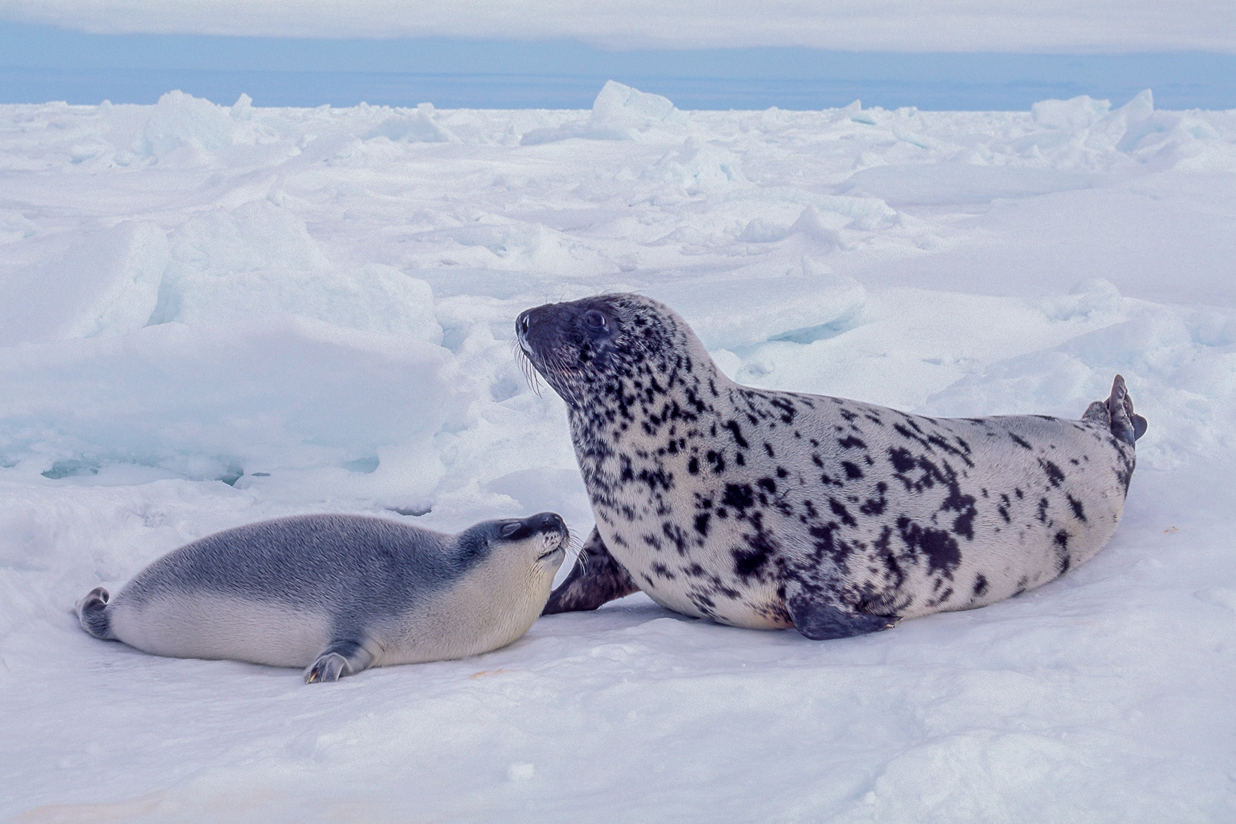 Patagonia South America >> Hooded Seals