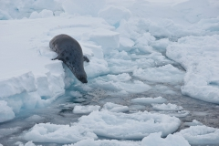 West-ice-hooded-seal-female-2b