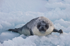 West-ice-hooded-seal-pup-in-slush-ice-1i
