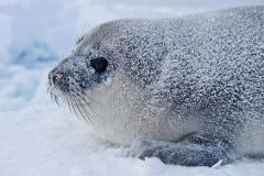 West-ice-hooded-seal-pup-portrait-3d