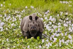 Indian rhino in water hyacinth field 2h