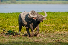 Indian-water-buffalo-3l