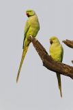 Rose-ringed parakeet 2b