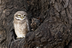 Spotted owlet 1a