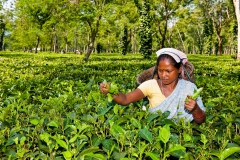 Tea-picker-1b
