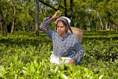Tea picker 2d