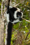Black-and-white-ruffed-lemur-5c