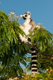 Ringed-tail-lemur-eating-flowers-3a