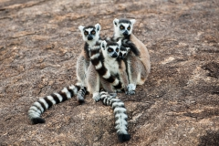 Ringed-tail-lemur-family-2a