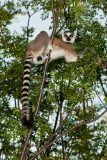 Ringed-tail-lemur-in-tree-10b
