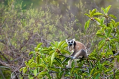 Ringed-tail-lemur-in-tree-3b