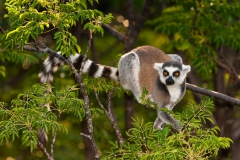 Ringed-tail-lemur-in-tree-8