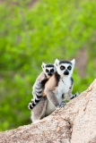 Ringed-tail-lemur-mother-and-baby-2d