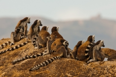 Ringed-tail-lemur-on-rocks-14
