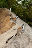 Ringed-tail-lemur-on-rocks-3b