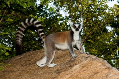 Ringed-tail-lemur-on-rocks-4b