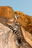 Ringed-tail-lemur-on-steep-rocks-1