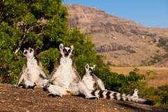 Ringed-tail-lemur-sun-bathing-1b