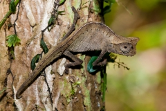 Stump-tailed-chameleon-3e