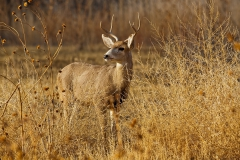 Black-tailed-deer-in-bush-3a