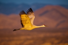 Flying-sandhill-crane-in-morning-light-