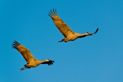 Flying-sandhill-cranes-3