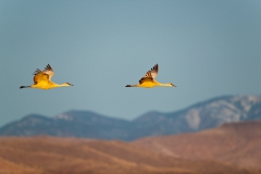 Flying-sandhill-cranes-and-mountains-3a