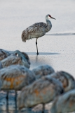 Sandhill-crane-on-ice-1e