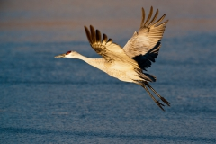 Sandhill-crane-taking-off-4a