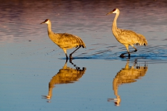 Sandhill-cranes-and-reflection-3d