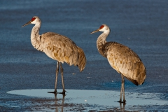 Sandhill-cranes-on-ice-1b