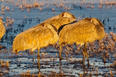 Sandhill-cranes-sleeping-early-light-1c