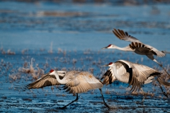 Sandhill-cranes-taking-off-1b