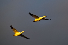 Snow geese pair flying 1b