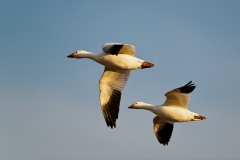 Snow-geese-pair-flying-7
