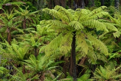 Tree-ferns-5c