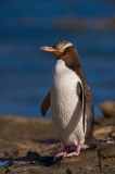Catlin-coast-Yellow-eyed-penguin-1d