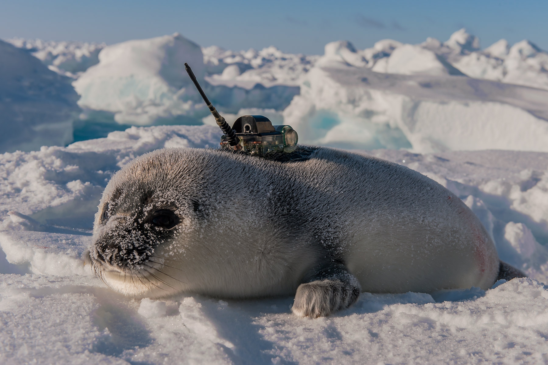 Hooded-seal-pup-and-CTD-tag-1f