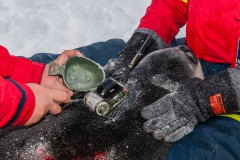 Attaching-ctd-tag-on-hooded-seal-pup-2b