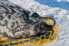 Hooded-seal-female-and-CTD-tag-1