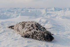 Hooded-seal-female-and-CTD-tag-1b