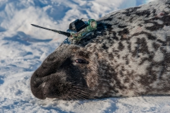 Hooded-seal-male-and-CTD-tag-1d