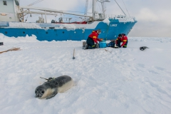Hooded-seal-pup-with-ctd-tag-1b
