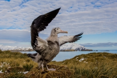 Wandering-albatross-chick-fly-practicing-1e